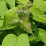 Catalpa bignonoides 'Nana' – kroglasti cigarovec 02
