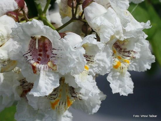 Catalpa bignonoides - cigarovec 03