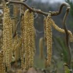 Corylus avellana 'Contorta'  – skrivenčena leska 05