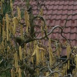 Corylus avellana 'Contorta' – skrivenčena leska 06