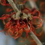 Hamamelis intermedia – nepozebnik 05-001