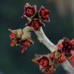 Hamamelis intermedia – nepozebnik 08-001