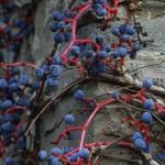 "Parthenocissus tricuspidata ""Veitchii"" – vejtičijeva divja trta 05"