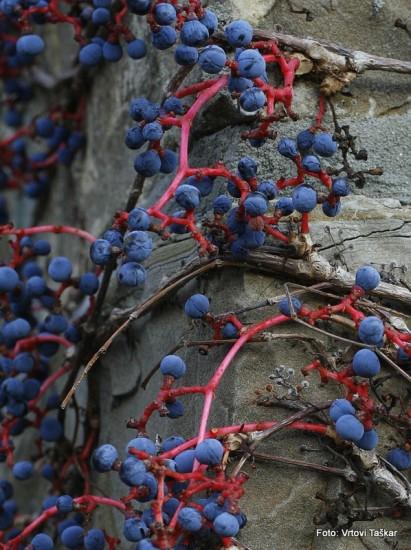 Parthenocissus tricuspidata ''Veitchii'' - vejtičijeva divja trta 05