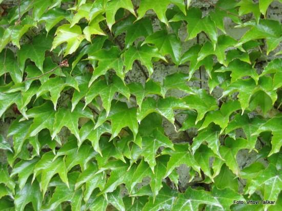 Parthenocissus tricuspidata ''Veitchii'' - vejtičijeva divja trta 06