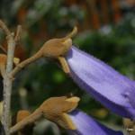 Paulownia tomentosa – polstena pavlonija 02