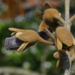 Paulownia tomentosa – polstena pavlonija 03