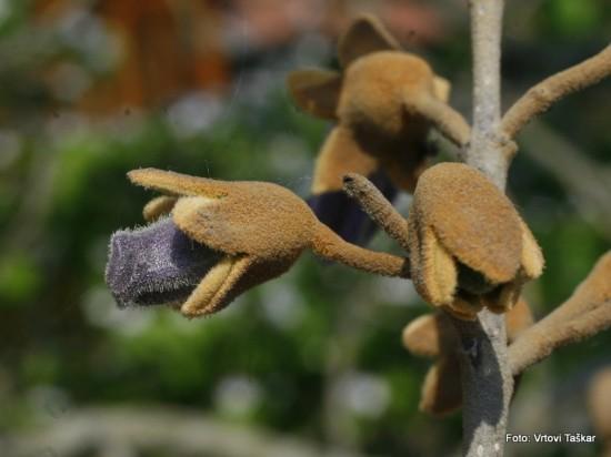 Paulownia tomentosa - polstena pavlonija 03