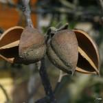 Paulownia tomentosa – polstena pavlonija 05