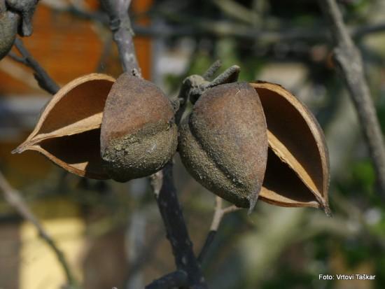 Paulownia tomentosa - polstena pavlonija 05