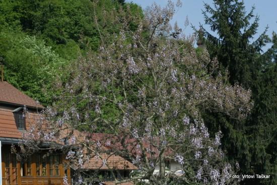 Paulownia tomentosa - polstena pavlonija 08