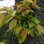 Prunus serrulata 'Kanzan' – japonska češnja 02
