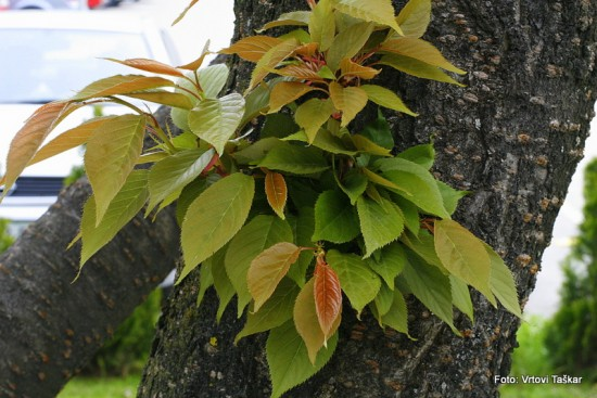 Prunus serrulata 'Kanzan' - japonska češnja 02