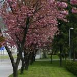 Prunus serrulata 'Kanzan' – japonska češnja 03