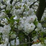 Prunus serrulata 'Shimidsu Sakura' – japonska češnja bela 01