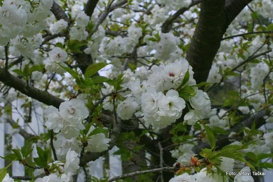 Prunus serrulata 'Shimidsu Sakura' - japonska češnja bela 01