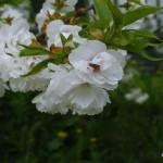 Prunus serrulata 'Shimidsu Sakura' – japonska češnja bela 02