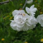 Prunus serrulata 'Shimidsu Sakura' – japonska češnja bela 03