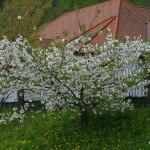 Prunus serrulata 'Shimidsu Sakura' – japonska češnja bela 05
