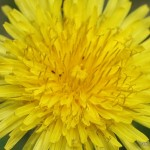 Taraxacum officinale – regrat 04