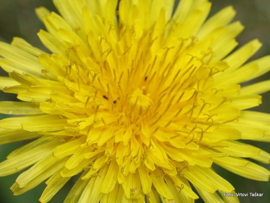 Regrat - Taraxacum officinalis