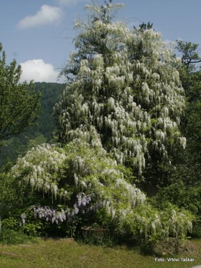 Wisteria sinensis 'Alba' 005