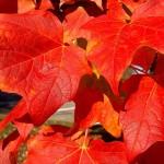 Acer rubrum listi