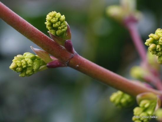 Acer rubrum - rdeči javor 02