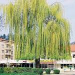 Salix sp. – vrba 01