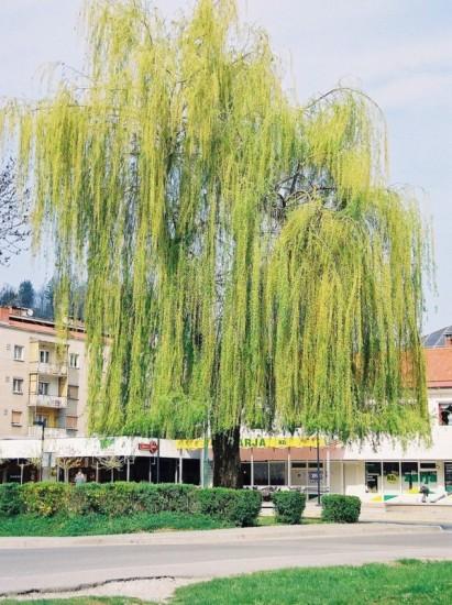 Salix sp. - vrba 01