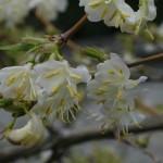 Lonicera x purpusi 'Winter Beauty' – purpusovo kosteničevje 02
