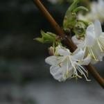 Lonicera x purpusi 'Winter Beauty' – purpusovo kosteničevje 03
