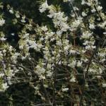 Lonicera x purpusi 'Winter Beauty' – purpusovo kosteničevje 04
