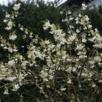 Lonicera x purpusi 'Winter Beauty' – purpusovo kosteničevje 05