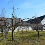 Prihaja čas za obrezovanje sadnega drevja