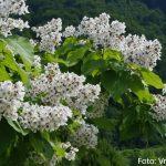 Catalpa-bignonoides-cigarovec-05