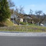 Pomladanski žafran – znanilec pomladi