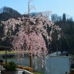 Čas, ko cvetijo japonske češnje