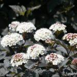 Physiocarpus-opulifolius-Diabolo-mešičkar-03