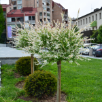 Salix integra 'Hakuro Nishiki'- japonska vrbica