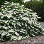Viburnum-plicatum-Shasta-07_800x