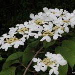 Viburnum_plicatum_f._tomentosum_Mariesii_4_1024x1024