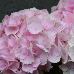 Olepšana gredica s hortenzijami