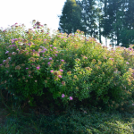 Spiraea japonica 'Crispa' – japonska medvejka