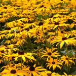 Rudbekije v toplih, zlato rumenih tonih