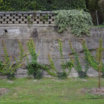 Vejtičijeva divja trta ~Partenocissus tricuspidatus